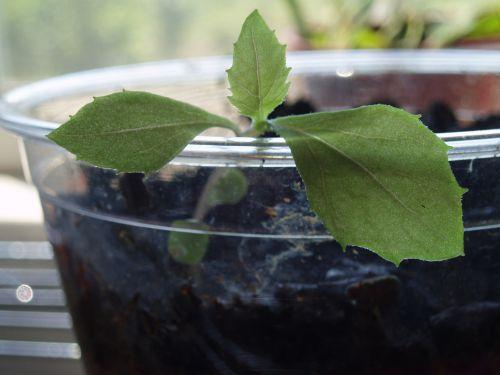 dygsta, lapai, moliūgas, sėkla, taurė, transplantacija, augti, sodas, auginti sėklą puodelyje