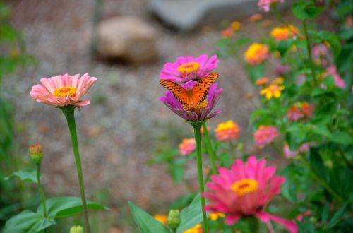 Persijos įlanka & nbsp, fritillary, drugelis, vabzdys, spalvinga, lauke, aster & nbsp, gėlė, sodas, oranžinė & nbsp, spalva, grožis, kraštovaizdis, Persijos įlankos kraterio drugelis