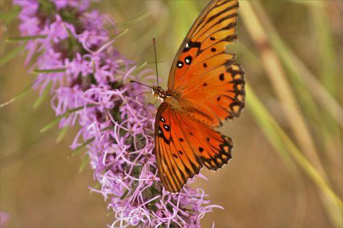 gamta, laukinė gamta, gyvūnai, vabzdžiai, drugeliai, oranžinė & nbsp, drugelis, Persijos įlanka & nbsp, fritillary, sparnai, oranžinė & nbsp, juoda & nbsp, drugelis, sėdi, augalai, gėlės, violetinė & nbsp, gėlė, dotted & nbsp, gayfeather, wildflower, violetinė & nbsp, wildflower, Iš arti, makro, Persijos įlankos kraterio drugelis 4