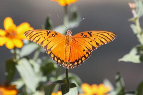 gamta, laukinė gamta, gyvūnai, vabzdžiai, drugelis, Persijos įlanka & nbsp, fritillary, oranžinė, oranžinė & nbsp, drugelis, sipping, gerti, gėlės, geltona, geltonos spalvos & nbsp, gėlės, Persijos įlankos kraterio drugelis ant gėlių
