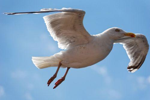 kepuraitė,paukštis,Uždaryti,vandens paukštis,gyvūnas,dangus,Laisvas,ežeras