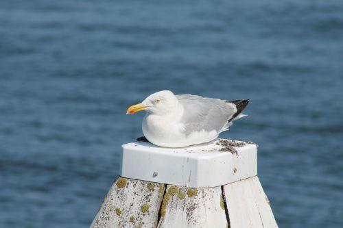 kepuraitė,jūra,paukštis,poilsis,sėdėti