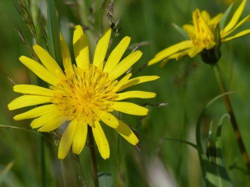 buvo salsify,aštraus gėlė,gėlė,augalas,flora,laukinis augalas,žiedas,žydėti,geltona,čiobreliai,pievų augalai,asteraceae,kompozitai