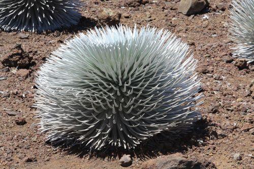 Haleakala,krūmas,augalai,sausas,dykuma,Hawaii,maui,nacionalinis,parkas,usa,augmenija,dykuma