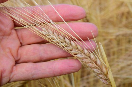ranka,grūdai,miežiai,maistingi miežiai,sveikas,maistas,vertingas,grūdai,gamta,Žemdirbystė,mityba