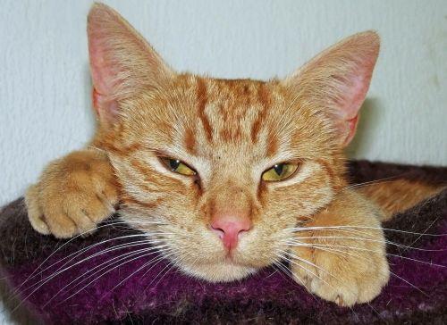 katė,naminis katinas,miego krepšys,pavargęs,nuobodžiaujantis