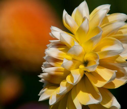 laimingesni dahlia,dahlia,geltona,sodas,gėlės,žiedas,žydėti,augalas
