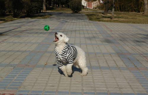 šunys, mažai & nbsp, šunų, baltieji & nbsp, šunys, gyvūnai, parkai, pavasaris, laimingas baltas šuo