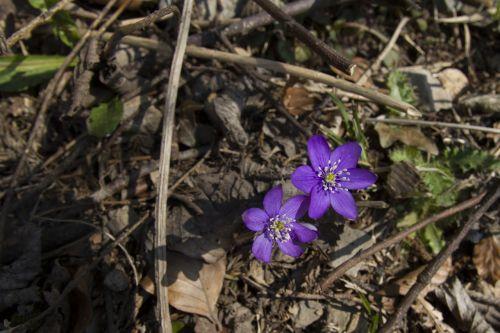 pavasario pranašys, hepatica, hahnenfu šiltnamio efektą sukeliančių, paprastoji hepatica, anemone hepatica, pavasaris, miško paklotė, be honoraro mokesčio