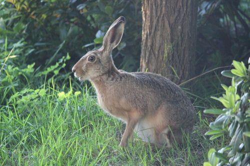 kiškis,laukiniai kiškiai,ilgai ausis,laukinis gyvūnas,ausis didelis,laukinės gamtos fotografija