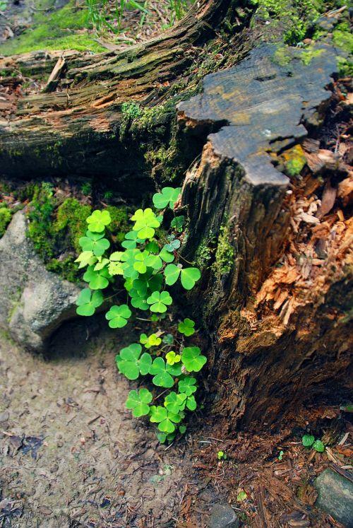 zuikio dobilas,bagažinė,informacinis lapelis,žievė,naujas gyvenimas,pavasaris,laimė,dobilas,miškas,Liesti medieną
