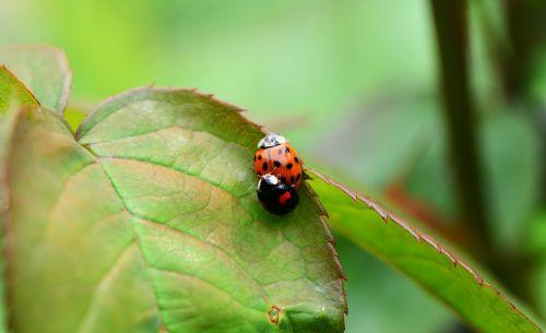 arlequin,kopuliavimas,poravimas,berniukas,harmonia axyridis,Boružė,azijietiška vabalas,raudona,oranžinė,juoda,vabzdžiai,Iš arti,išsamiai