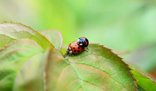 arlequin,kopuliavimas,poravimas,berniukas,harmonia axyridis,Boružė,azijietiška vabalas,raudona,oranžinė,juoda,vabzdžiai,Iš arti,makro,išsamiai