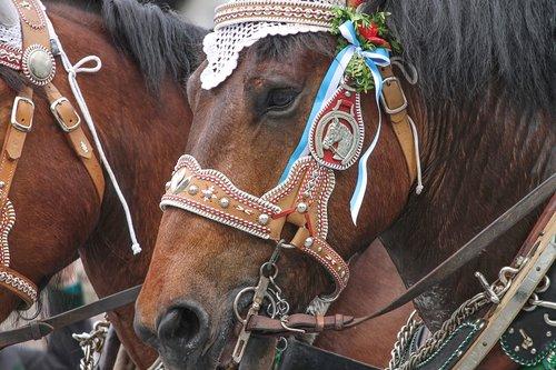 panaudoti arkliams, arklys papuošalai, dekoruotas, arkliai, treneris, vadelės, tradiciškai, alaus automobilis, folkloro festivalis, odos, tradicija, diržas, Bavarija, Vokietija, Šaltakraujiškas, arklys, pferdearbeit patiekalai, arklys traukiamas vežimas, darbinis arklys, arklys galva, karčiai, apykaklė, monteaura