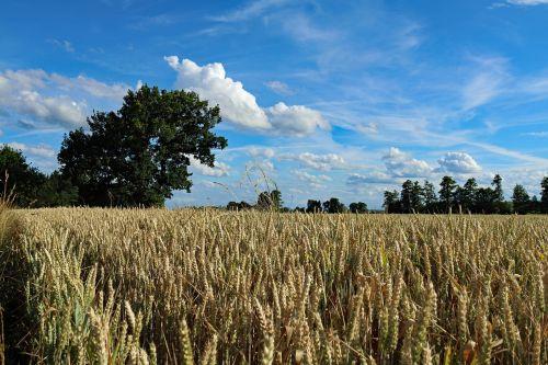 derlius,laukas,grūdai,grūdai,laukinės kultūros,kvieciai,rugių laukas,kukurūzų laukas,apšvietimas,vasara,vaizdingas