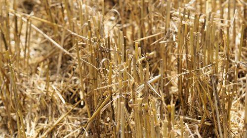 derlius,šiaudai,laukas,Žemdirbystė,kiškis,kraštovaizdis,kukurūzų laukas,derliaus metas,šiaudų derlius,sausas,kaimas,gamta,derlius