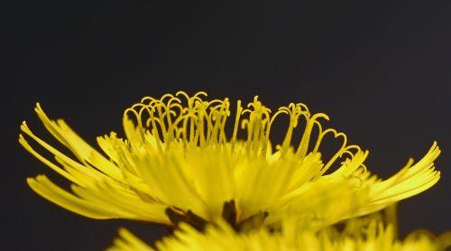 Hawkweed,žiedas,žydėti,makro,geltona,vaistinis augalas,vaistinis augalas,laukinė gėlė,laukinis augalas,pievų augalai,profilis,pusė
