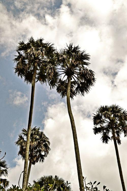 hdr,aukšti medžiai,dangus,saulės šviesa,Šri Lanka,ceilonas,Mawanella,peradniya,karališkasis botanikos sodas