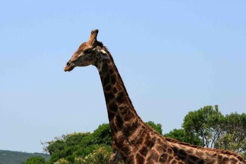 žirafa, gyvūnas, raštuotas, Patinas, galva, kaklas, aukštas, suaugusios žirafos galva ir kaklas