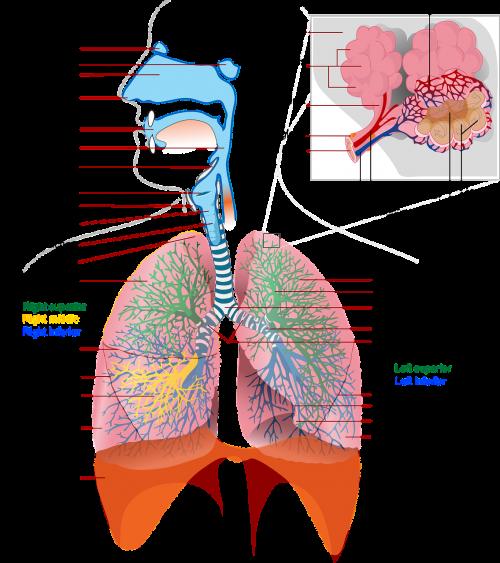 sveikata,medicina,anatomija,plaučių,paženklinta etikete,kvėpavimas,nemokama vektorinė grafika