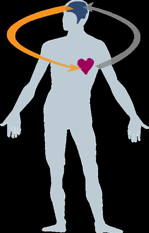 širdis,smegenys,vyrų kūnas,sveikata,žmogus,anatomija,kūnas,medicina,anatominis,butas,galva,galvoti,nemokama vektorinė grafika