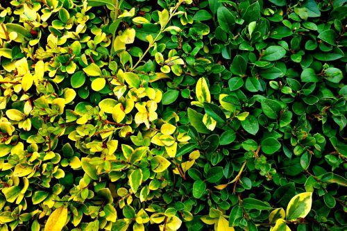 apsidraudimas,apkarpytas gyvatvores,figūra,dekoratyvinis,sienos,lapija,sodininkystė,krūmas,modelis,struktūra,žalias,šviesiai žalia,tamsiai žalia