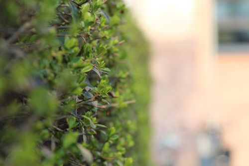 apsidraudimas,žalias,lapai