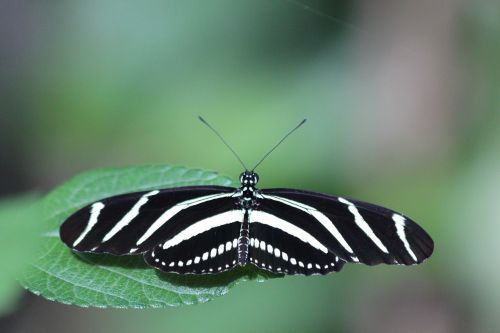 heliconiinae kharitonov,drugelis,heliconius charitonija,zebras heliconian,vabzdžiai,gamta,Iš arti,žalumos,žalias fonas,makro,dryžuotas,juoda ir geltona
