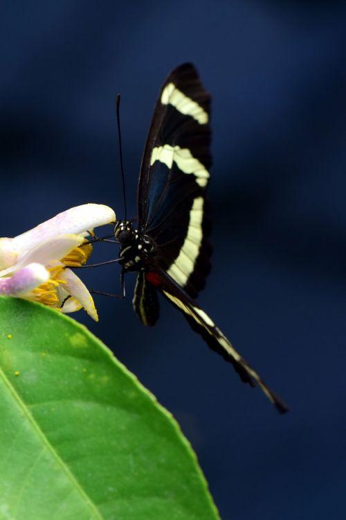 heliconius,atogrąžų,skristi,Lengvai,švelnus,mažas,juoda,maistas,nektaras,žiedas,žydėti,vabzdys,drugelis,gamta