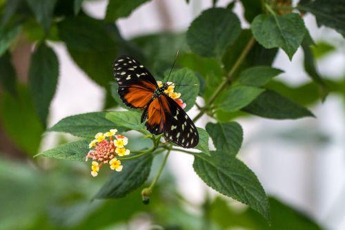 heliconius hecale,auksinė virvutė,drugelis,skrydžio vabzdys,skristi,vabzdys,gėlės,sparnas