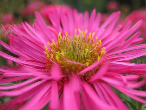 herbstaras,gėlė,žiedas,žydėti,dekoratyvinis augalas,Uždaryti