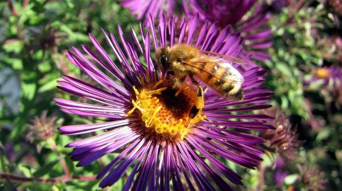 herbstaras,bičių,žiedas,žydėti,vabzdys,apdulkinimas,sodas,augalas