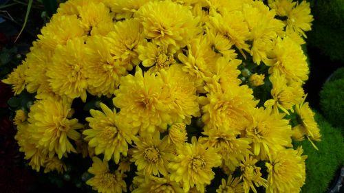 herbstaras,gėlė,daug,geltona,gėlės,gėlių sodas,vasaros pabaigoje