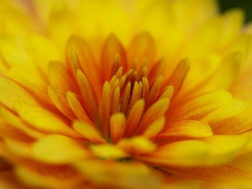herbstaras,geltona,žiedas,žydėti,Uždaryti,oranžinė,gėlė