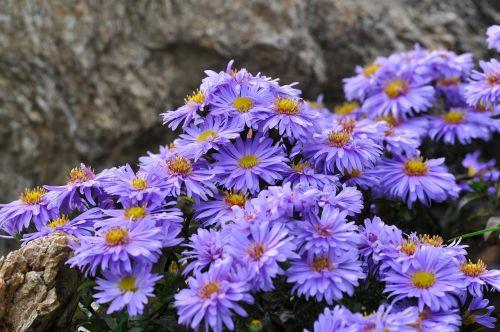 herbstaras,gėlės,aster,augalas,mėlynas,violetinė