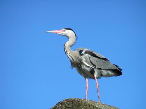 heronas,paukštis,gamta,babu,sparnai,mėlyna giraitė