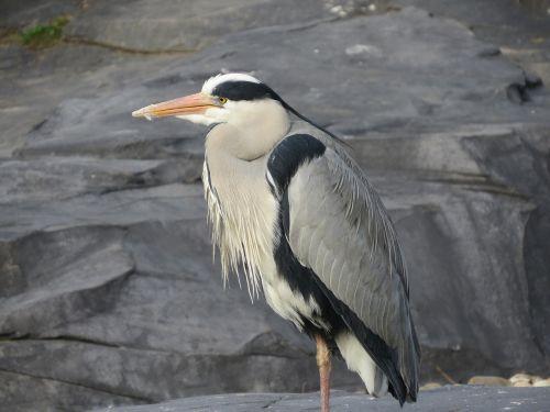 heronas,paukštis,mėlyna giraitė,gamta,snapas,gyvūnas,sparnai,babu,tvenkinys