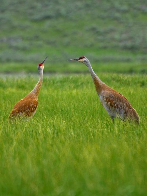 heronas,krūvos,raudona,ruda,didelis,2,parodė du,žolė,laukas,gamta,kraštovaizdis,aplinka,žalias,gyvūnas