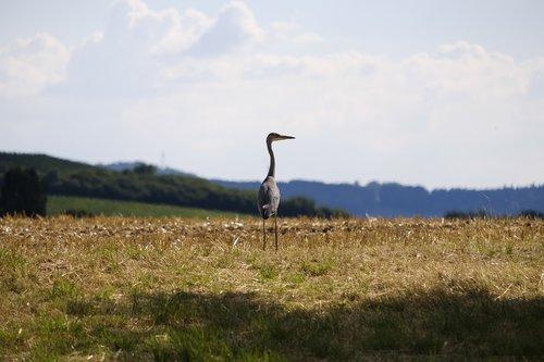 Heron, Pilkųjų garnių, paukštis, Rytų, vanduo paukštis, laukinių, Laisvas, gamta