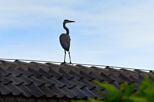 Heron, paukštis, Balinė paukštis, plėšrusis paukštis, gyvūnas, Gyvūnijos, stogo, paukštis ant stogo, nuolatinis, outoors