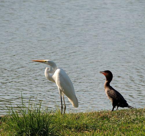 heronas,paukščiai,ežeras,neotropinis kormoranas