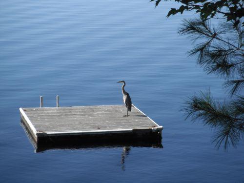 heronas, gandras, vasara, prieplauka, ežeras, paukštis, heronas prie doko