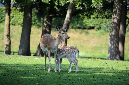 elnias, roe & nbsp, elnias, Buck, gyvūnas, šiaurės elniai, gamta, maistas, elnias