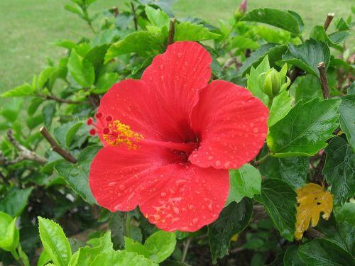 hibiscus,Ishigaki sala,atokios salos,raudona,gėlės,žalias,didelis,Okinawa,Japonija,pietų sala,lašas vandens,šviežias,gyvas,kontrastas,antomasako,pietų šalyse