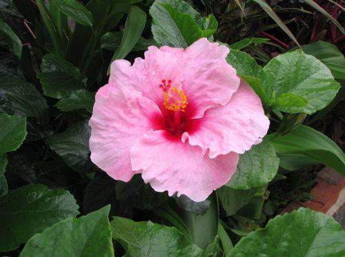 hibiscus,Ishigaki sala,atokios salos,rožinis,geltona,raudona,gėlės,žalias,didelis,Okinawa,Japonija,pietų sala,lašas vandens,šviežias,gyvas,kontrastas,antomasako,pietų šalyse,jūra