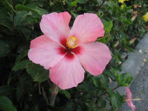 hibiscus,Ishigaki sala,atokios salos,rožinis,gėlės,žalias,didelis,Asahi,šviečia,Okinawa,Japonija,pietų sala,šviežias,gyvas,kontrastas,antomasako,pietų šalyse,jūra,raudona,tvirtas,Moteris