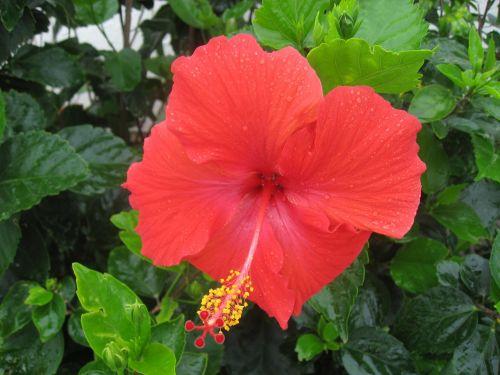 hibiscus,lašas vandens,lietus,skambinti,Ishigaki sala,atokios salos,raudona,gėlės,žalias,didelis,Asahi,šviečia,Okinawa,Japonija,pietų sala,šviežias,gyvas,kontrastas,antomasako,pietų šalyse,jūra,tvirtas,Moteris