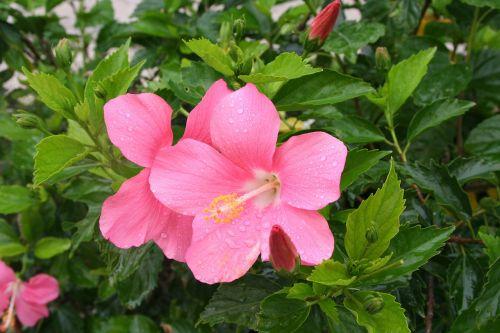 hibiscus,lašas vandens,lietus,skambinti,Ishigaki sala,atokios salos,rožinis,gėlės,žalias,mažas,Okinawa,Japonija,pietų sala,šviežias,gyvas,kontrastas,antomasako,pietų šalyse,jūra,raudona,tvirtas,Moteris