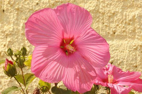 hibiscus,hibiscus gėlė,milžiniškas hibiscus,žiedas,žydėti,rožinis