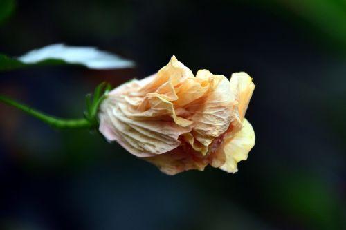 hibiscus,žiedas,žydėti,balta,geltona,gražus,Uždaryti,uždaryta,uždara gėlė,atogrąžų,Mallow